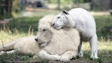 A White Lion And A White Tiger Just Had Babies And They Are The Cutest Things On The Planet