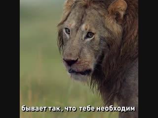 даже если ты лев