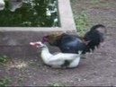 Duck and Rooster
