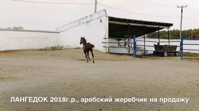 Продажа лошадей конефермы Эквилайн, тел., WhatsApp 79883400208 ( ЛАНГЕДОК 2018г.р.)