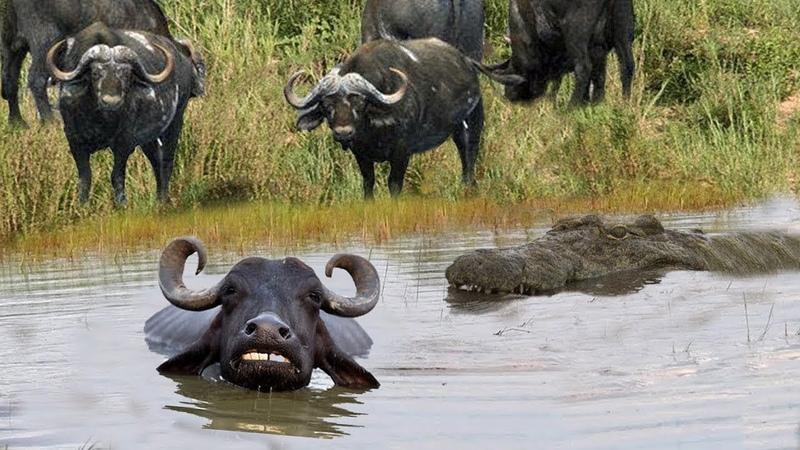 Đang uống nước thì bị tấn công - Săn mồi là phải biết tranh thủ ( 6 Lion vs buffalo vs crocodile)