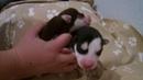 Щенки сибирский хаски рыжий и чёрный Siberian husky puppies red and black