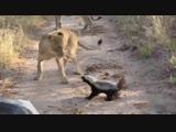 Львятки еще не понимают почему они должны уступать тропу каким-то там полосатым недомеркам =)