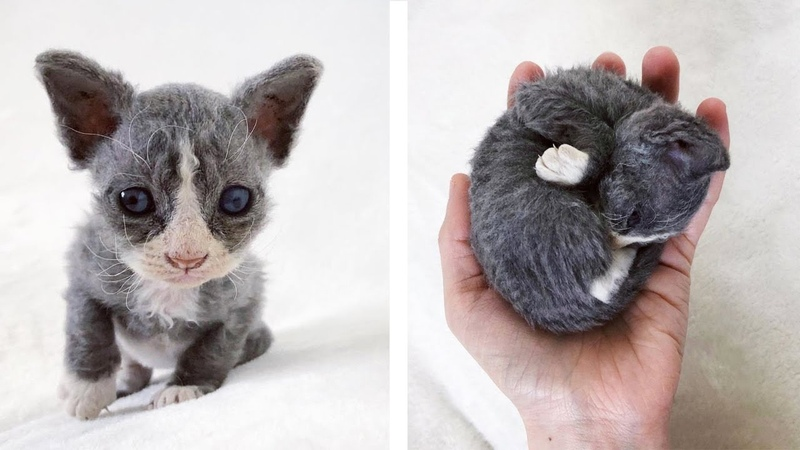 Saved Kitten with Face Like Plush Toy, Wont Leave Woman