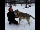 Девушка вырастила волков, и вот через 4 года они встретились