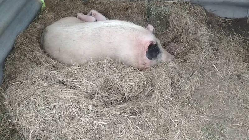 Опорос свиньи. Как принимать роды Никак)