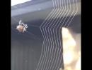 Красота природы, паучок строит себе паутину для жилья и охоты😊😊😊😊😊😊😊