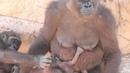Martha and Baby - Western Lowland Gorillas