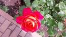 Роза Midsummer Tantau в моём саду