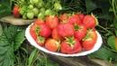 Хотите крупную клубнику Всего 4 правила и будет отличный урожай