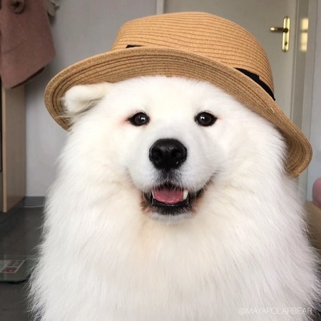 """MAYA THE SAMOYED on Instagram: """"Cuteness on a scale of 0 to 10 😍? Join our DressYourPetChallenge ⭐️ - Song: Run Free - Deep Chills feat. IVIE 🎵"""""""