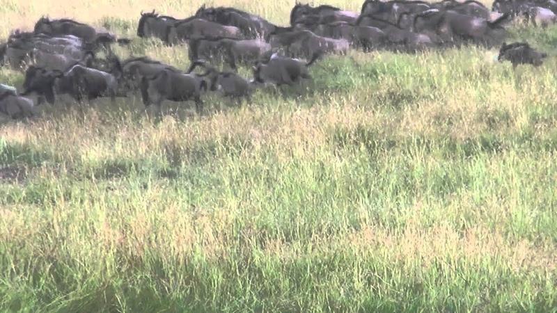 Детеныш антилопы гну отбивается от львиц