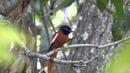 African paradise flycatcher фриканская райская мухоловка Terpsiphone viridis