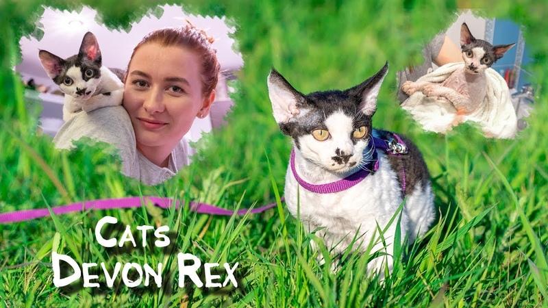 Рассказ котенка Девон Рекс Дом улица ванна Devon Rex