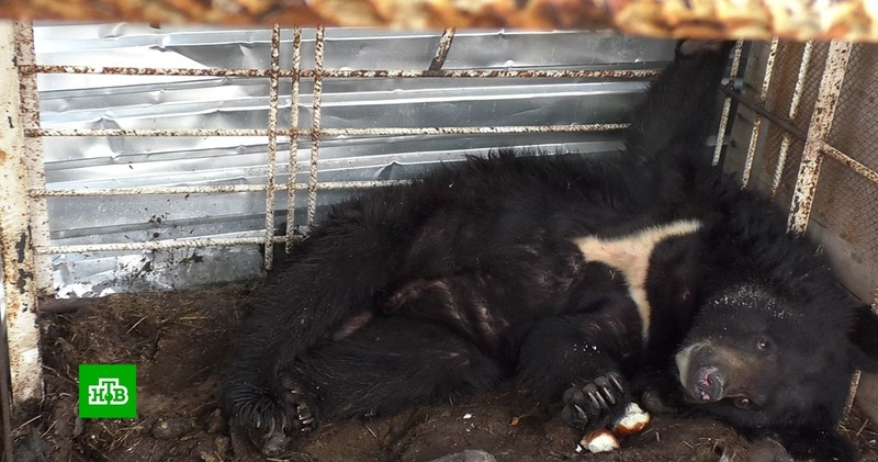 В Кузбассе брошенный медвежонок от голода и одиночества оказался на грани гибели