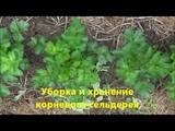 Уборка и хранение корневого сельдерея