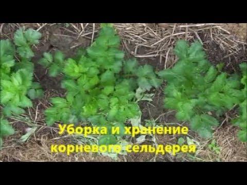 Уборка и хранение корневого сельдереяДИАМАНТ