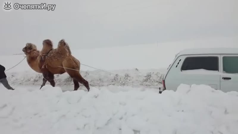 Верблюд вытягивает Ниву.mp4