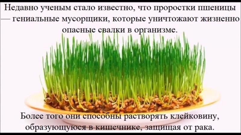 Польза проросшего зерна пшеницы 1