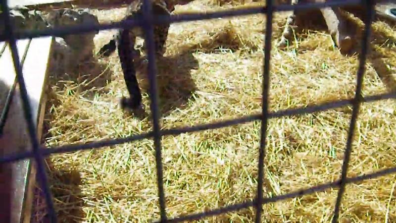 Бахчисарайский парк миниатюр. Леопардочка - побегушка (14.02.19)