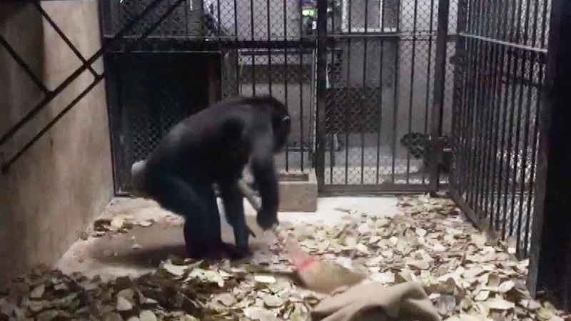 Smart chimpanzee imitates breeder in cleaning room in NE China