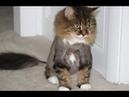 Смешные коты до слез Попробуй не смеятся Смешные кошки 2018 17 Коты и котики Без монтажа