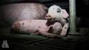 Жизнь свиньи на современной промышленной ферме