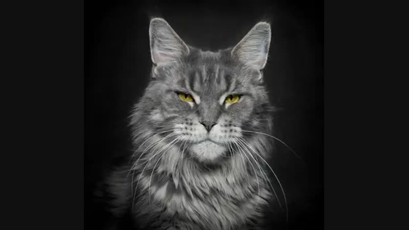 50 faces of Maine Coon..mp4