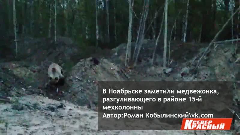 По окраине Ноябрьска бродит медвежонок