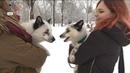 Сніжні лиси незвичайні домашні улюбленці