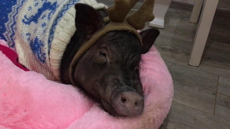 «Все будет...»: что пожелает ямальцам надымская свинка по кличке Хорошо