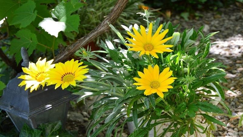 Газания цветок для клумбы Как посадить газанию