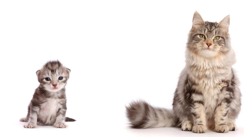 Timelapse Sees Kitten Growing Into An Adult Cat