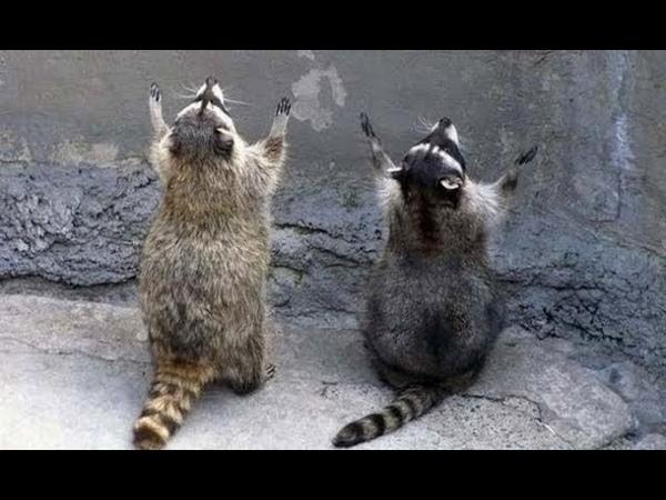 Смешное видео с енотами Смешные еноты полоскуны Приколы с енотами 2018 Смешные кошки МатроскинТВ
