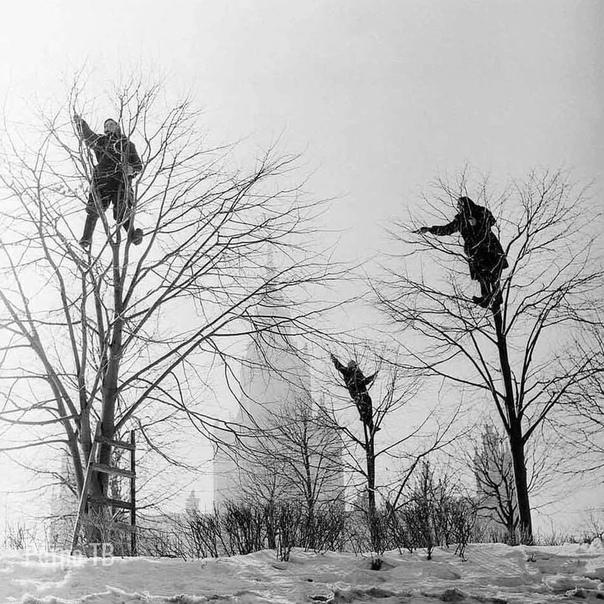 Обрезка деревьев в Москве, 1960 г.