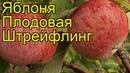 Штрейфлинг - Яблоня плодовая. Краткий обзор, описание характеристик, где купить саженцы