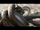 Последний игуан чудом убежал от змей..mp4