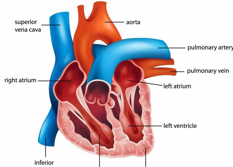 Уабаин ➤ - это лечение сердечной недостаточности и проблем с атриумом.