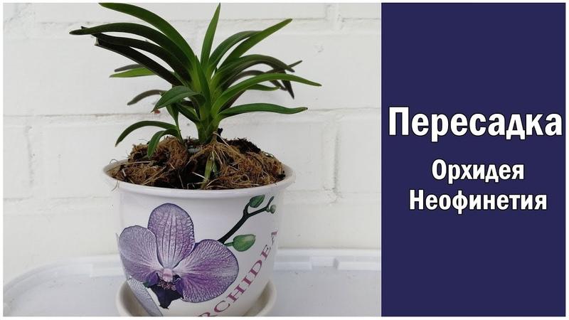 Орхидея Неофинетия пересадка! Neofinetia falcata orchid transplant!