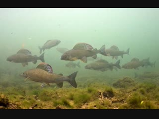 Grayling underwater