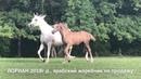 Продажа лошадей арабской породы конефермы Эквилайн тел WhatsApp 79883400208 ЛОРИАН 2018г р