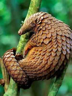 Панголин - современник динозавров. Увидеть панголина в живой природе невероятно трудно! И основные свидетели этого зверька в Африке - или рейнджеры Национальных Парков, или лесные жители -