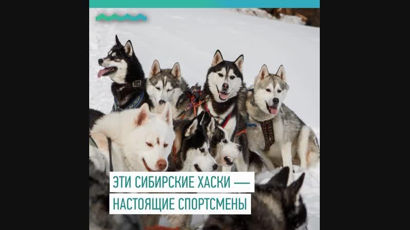 Уникальные гончие сибирские хаски
