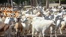Мясное козоводство Разведение коз на мясо Никакого молока КФХ Енина Республика Адыгея