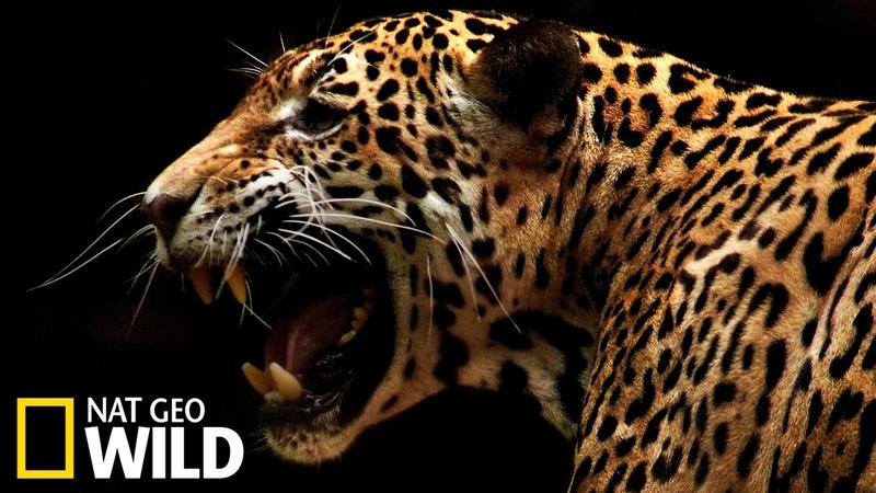Un jaguar attaque un caïman Animal Fight Club