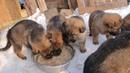 щенки немецкой овчарки питомника Von Haus Bushido
