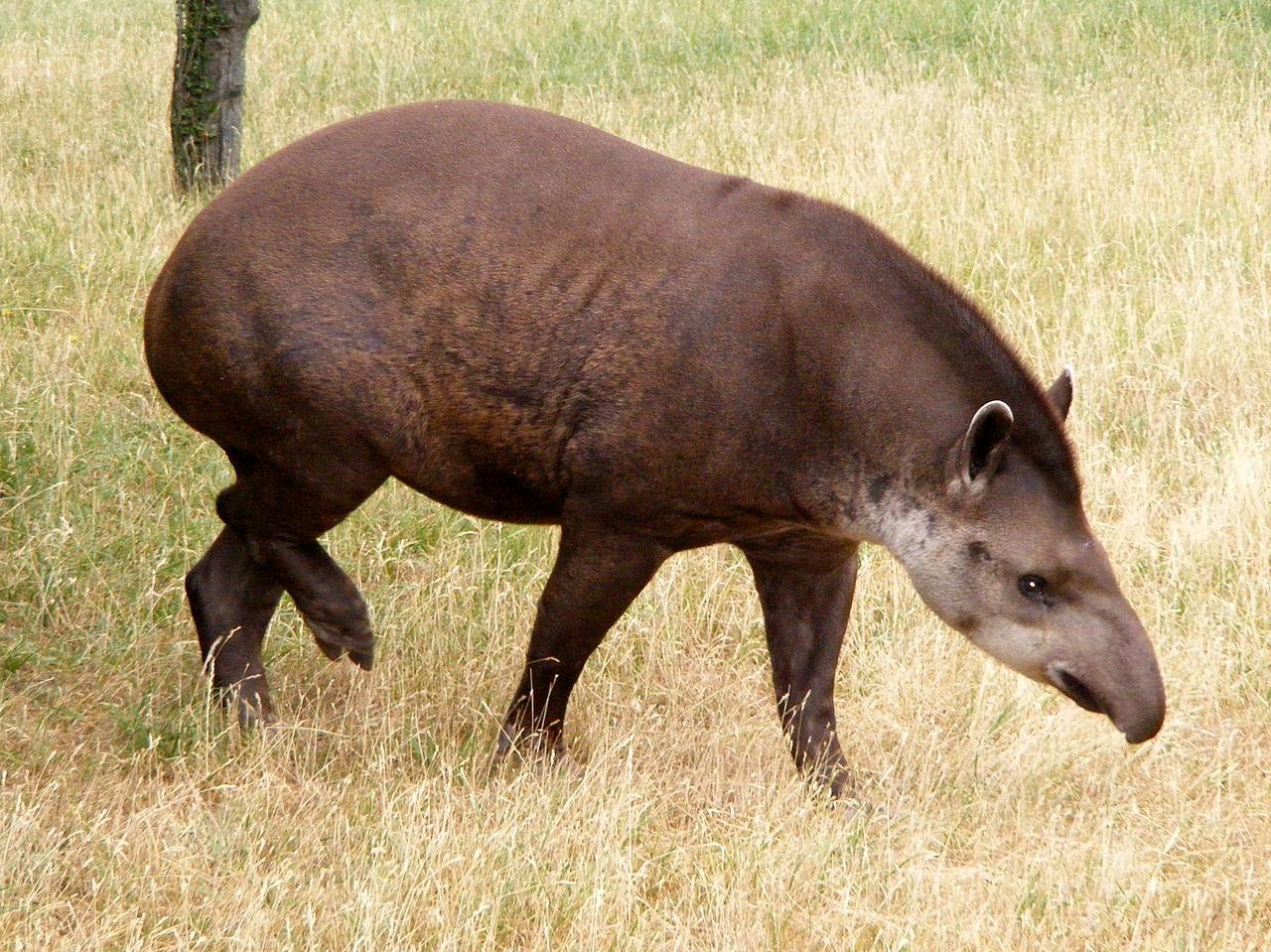 Тапир, или свинка с хоботом. Внешний вид. Описание