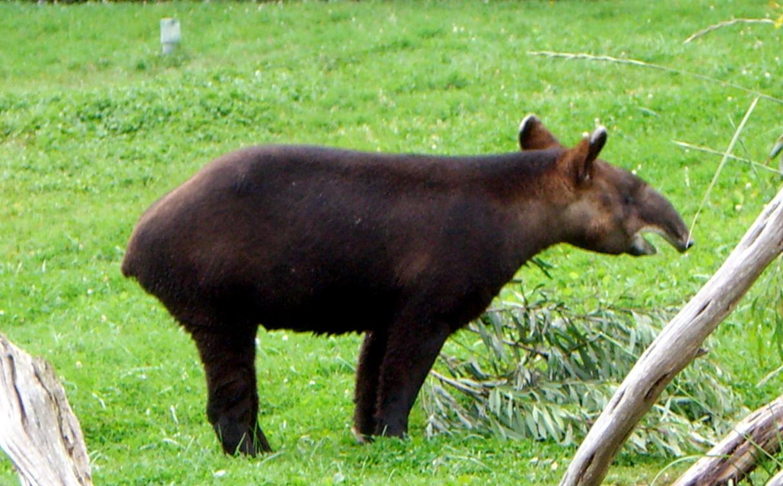 Тапир, или свинка с хоботом. Внешниый вид. Описание. Горный тапир