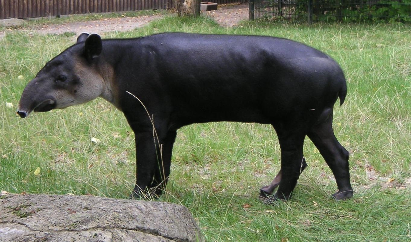 Тапир, или свинка с хоботом. Внешний вид. Описание. Центральноамериканский тапир