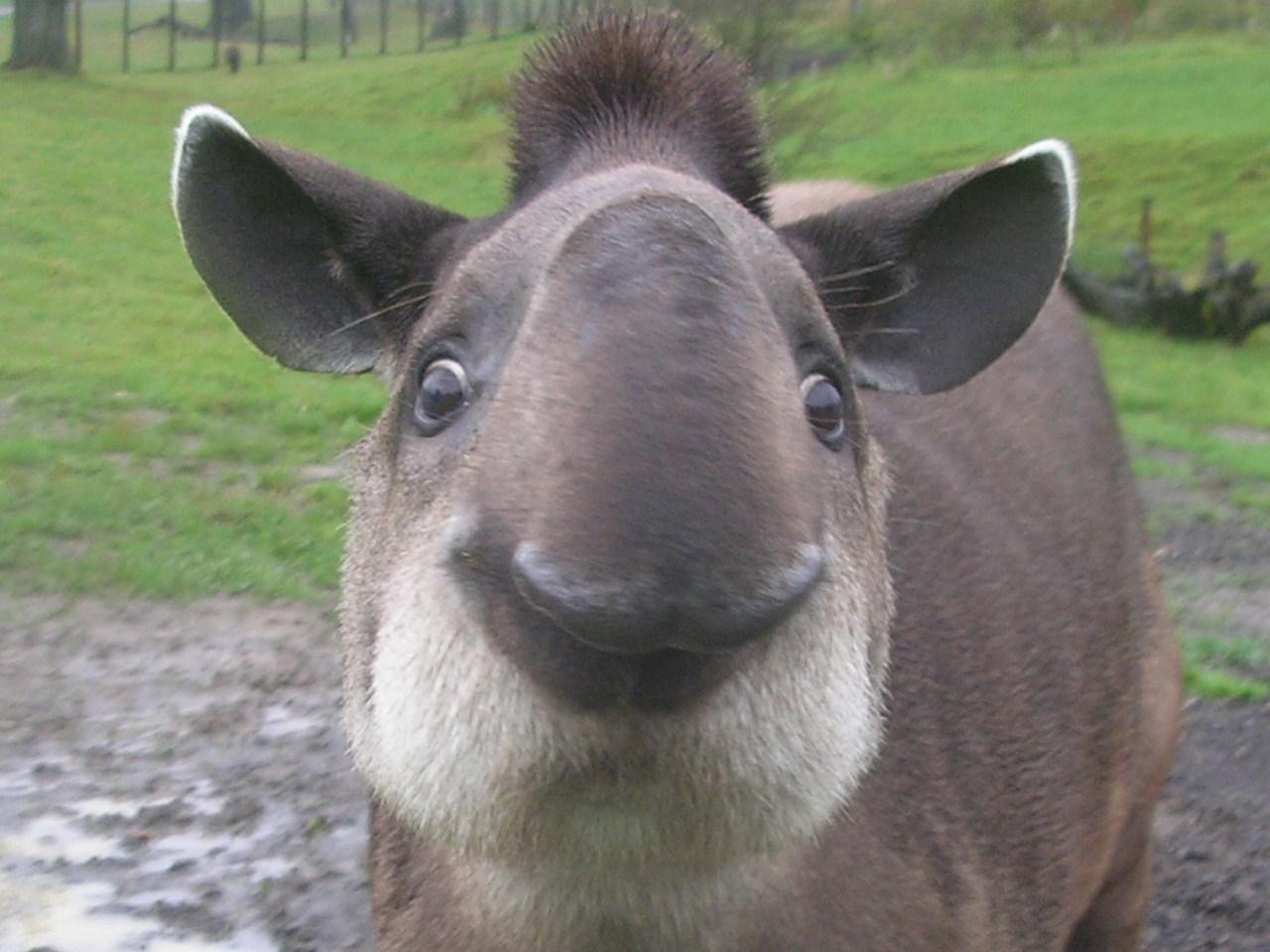 Тапир, свинка с хоботом